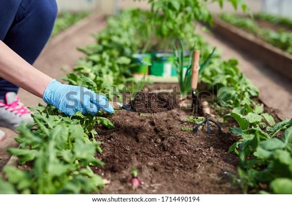 Gardeners hands planting and picking vegetable from backyard garden. Gardener in gloves prepares the soil for seedling.