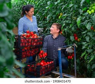 Gardeners talking while harvesting tomatoes at vegetable farm, seasonal horticulture
