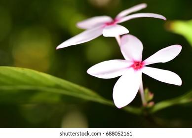 Gardenia bunch
