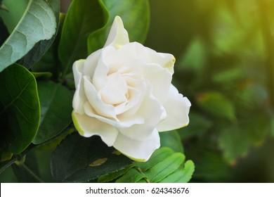 Gardenia Flower (Gardenia jasminoides) Beautiful in morning