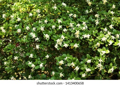 Gardenia flower (Gardenia jasminoides) with the tree and green leaves pattern background texture, Spring in GA USA.