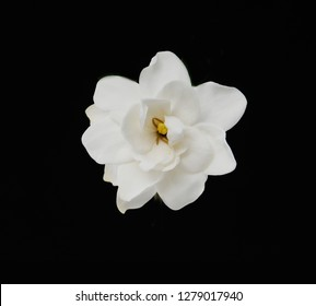 The Gardenia, a flower in white color isolated on black background