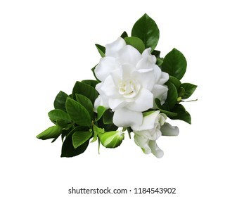 Gardenia flowers or Cape Jasmine with leaves isolated on white background