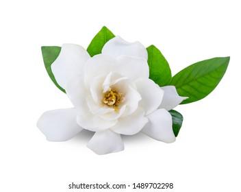Gardenia flowers on white background