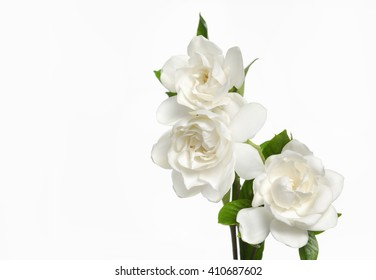 Gardenia flowers-white background