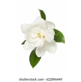 Gardenia jasminoides or Cape jasmine flower on white background