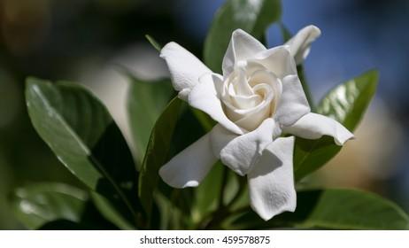 Gardenia (Gardenia jasminoides), Winter Park, Orlando, Florida