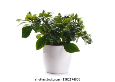 Gardenia in a modern white pot, isolated over white background - Shutterstock ID 1382194805