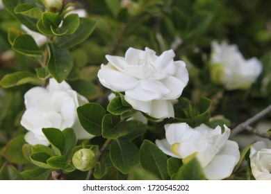 a gardenia plant with snowy white blooms 9388