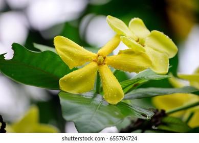 Gardenia sootepensis Hutch
