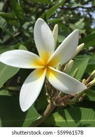 Gardenia or Tahitian tiare flower.