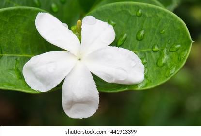 Gardenia taitensis or Tiare