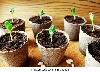 Gardening background.Young fresh seedling growing in pot.
