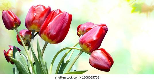 gardening beautiful tulips