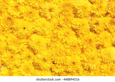 gardening, botany, floristry, texture and flora concept - beautiful chrysanthemums flowers