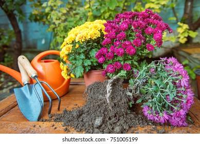 gardening, chrysanthemums in pots