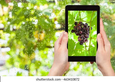 gardening concept - gardener photographs of bunch of red grapes on tablet pc