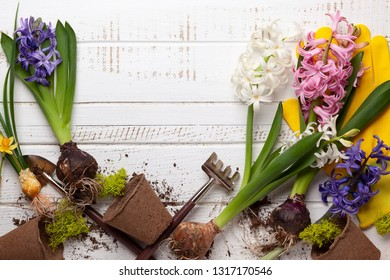 Gardening concept  with spring flowers, garden tools,work gloves and flower pots on wooden background. Flat lay, copy space.