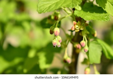 Gardening, cultivation, agriculture and care of vegetables and fruit concept-spring buds of blackcurrant flowers.