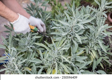 gardening (cutting sage tea leaves)