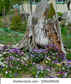 Gardening:  Decorative old stump and colorful viola.