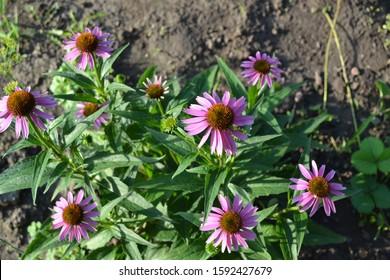 Gardening. Echinacea flower. Echinacea purpurea. Perennial plant of the Asteraceae family. Curative plant. Purple flowers
