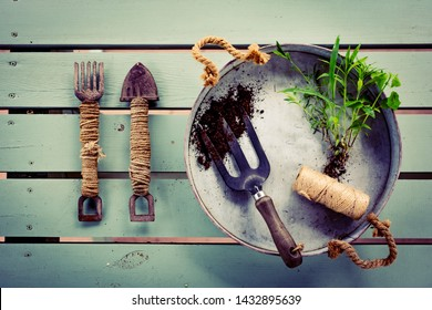 Gardening flat lay. Set of rustic, old, vintage gardening tools, metal tray and fresh green seedlings on mint green wooden table