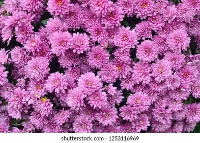 Gardening and floriculture concept. Magenta purple chrysanthemum flowers