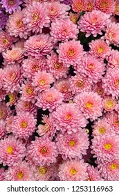 Gardening and floriculture. Living coral pink chrysanthemum flowers