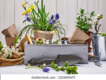 Gardening and floriculture spring flower with garden inventory on white wooden board and blossoming branch tree.