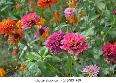 Gardening. Flower Zinnia. Home garden, flower bed. House, field, farm, village. Zinnia, a genus of annual and perennial grasses and dwarf shrubs of the Asteraceae family. Multicolored flowers