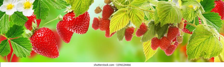 gardening fresh berries.strawberries,raspberries
