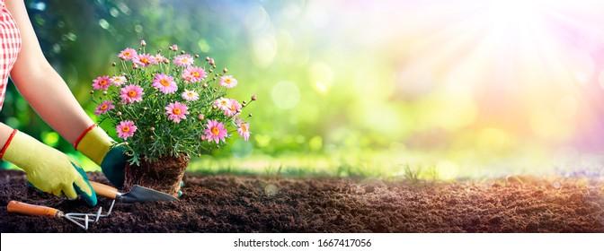 Gardening - Gardener Planting A Daisy In The Soil