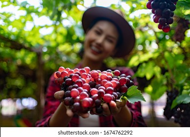 Gardening Girl Holding grapes in her hand in the Vineyard. Hand of Asia Woman Farmer the selected Grape in Bio Concept, Organic Food, Nature and Wine Handmade.
