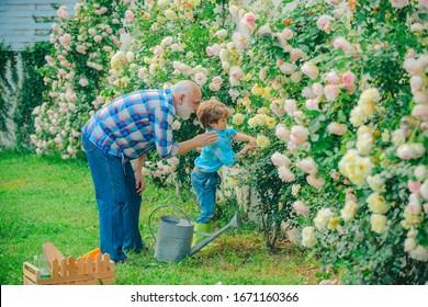Gardening - Grandfather gardener in sunny garden planting roses. Gardener in the garden. Little helper in garden. Hobbies and leisure. Flower ground