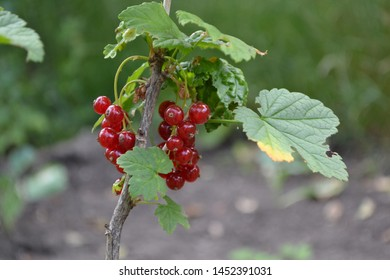 Gardening. Green. Red juicy berries. Tasty and healthy. Red currant, ordinary, garden. Small deciduous shrub family Grossulariaceae