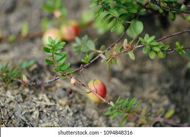 Gardening growing berries. Healthy vitamin food.