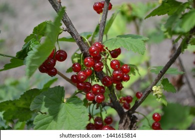 Gardening. Home garden, bed. Green leaves, bushes. Red juicy berries. Tasty and healthy. Red currant, ordinary, garden. Small deciduous shrub family Grossulariaceae