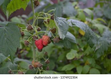 Gardening. Home garden, bed. Raspberry ordinary. Rubus idaeus, shrub, a species of the Rubus genus of the family Rosaceae. Red berries