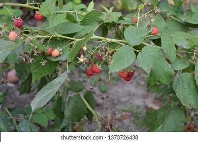 Gardening. Home garden, flower bed. House, field, farm, village. Raspberry ordinary. Rubus idaeus, shrub, a species of the Rubus genus of the family Rosaceae. Tasty, healthy. Red berries