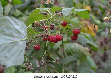 Gardening. Home garden, flower bed. House, field, farm. Raspberry ordinary. Rubus idaeus, shrub, a species of the Rubus genus of the family Rosaceae. Red berries