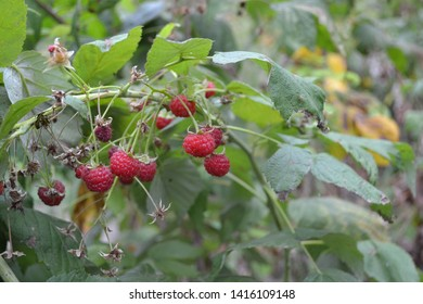 Gardening. Home garden, flower bed. House, field. Raspberry ordinary. Rubus idaeus, shrub, a species of the Rubus genus of the family Rosaceae. Red berries