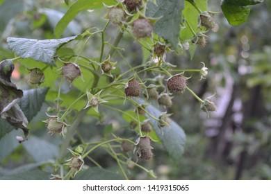 Gardening. Home garden. Raspberry ordinary. Rubus idaeus, shrub, a species of the Rubus genus of the family Rosaceae. Red berries