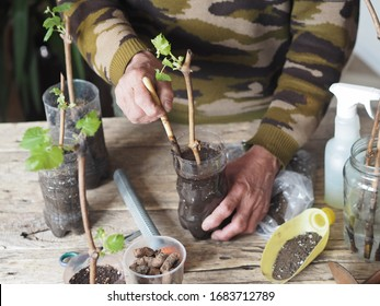 Gardening. Men's hands plant grape cuttings in plastic containers for growing roots and planting in the garden. Wooden background. Propagation of grapes.