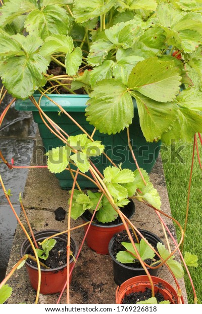 Gardening on a budget, plant propagation with strawberry plant runners in vertical format