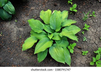Gardening organic Hosta is a genus of plants commonly known as hostas, plantain lilies and occasionally by the Japanese name giboshi. large green leaves on the background of the soil close up