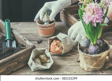 Gardening and planting concept. Woman hands planting hyacinth in ceramic pot. Seedlings garden tools tubers (bulbs) gladiolus and hyacinth flowers pink hyacinth. Toned and processing photo