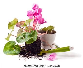 Gardening, planting cyclamen flowers in the pot