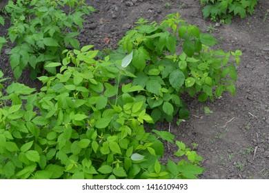 Gardening. Raspberry ordinary. Rubus idaeus, shrub, a species of the Rubus genus of the family Rosaceae. Young Green bushes