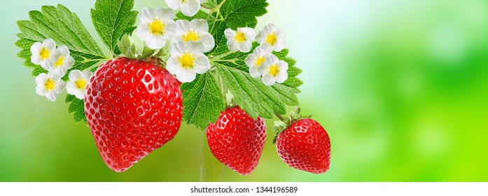 gardening ripe red strawberry
